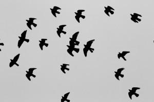 pigeons birds flying
