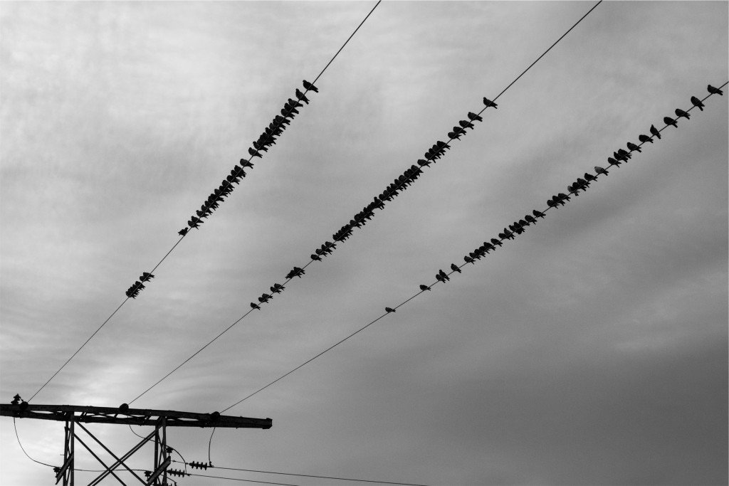 Birds wire migration