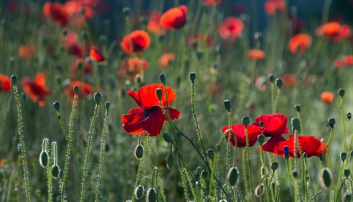 poppies-384926_1920