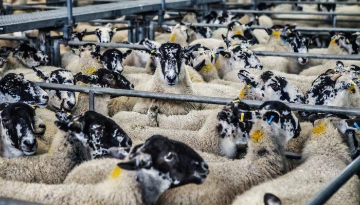 sheep upgrade premium